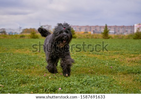 Terrier Zordan Black runs across field meadow green grass, happily wagging tail against background of fir trees and houses of city. Full length. Walking pet in autumn. Horizontal shot of animal #1587691633