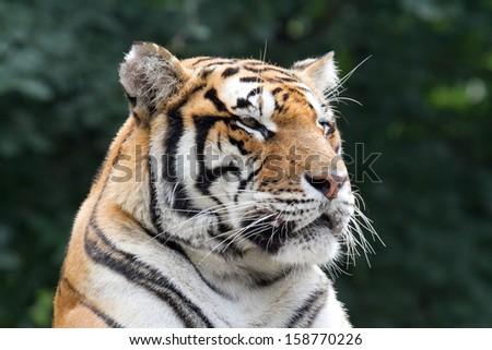 Tiger #158770226