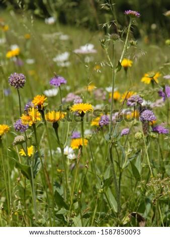 Flowers in meadow, The Alps, Graubünden, Switzerland #1587850093