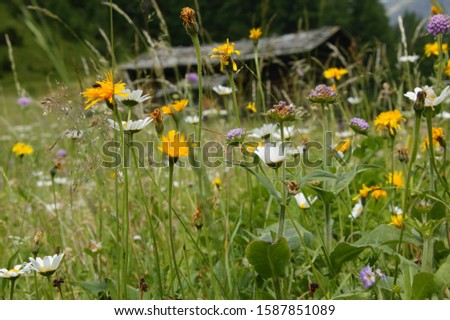 Flowers in meadow, The Alps, Graubünden, Switzerland #1587851089
