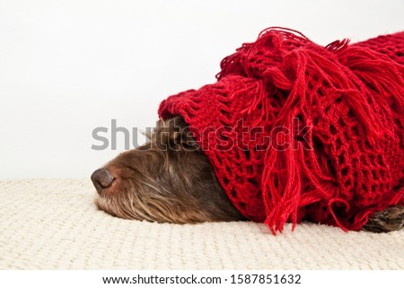 dog breed German Wirehaired Pointer drathaar pointer dressed in red openwork scarf on a white background #1587851632