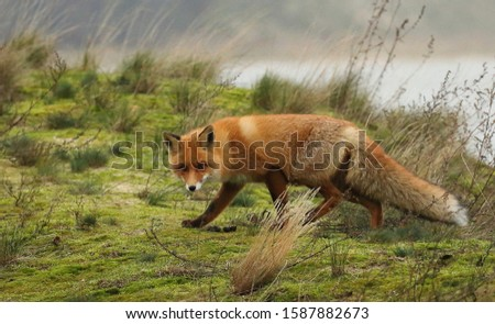Red foxThe red fox is the most abundant and most widely distributed species of Vulpes.