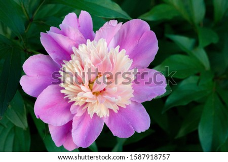 Peony or paeony is a flowering plant in the genus Paeonia, the only one in the family Paeoniaceae. native to Asia, Europe and Western North America. are among the most popular garden plants #1587918757