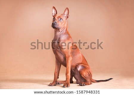 Thai Ridgeback is a national breed of Thailand. And perhaps it is one of the oldest breeds known to man. This is a pariah dog, an indigenous breed. #1587948331