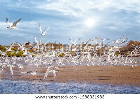 The group of birds, sandwich terns in seabird park and reserve of Senegal, Africa. They flies over the beach and above the surface of the water lagoon in lagoon Somone. #1588031983