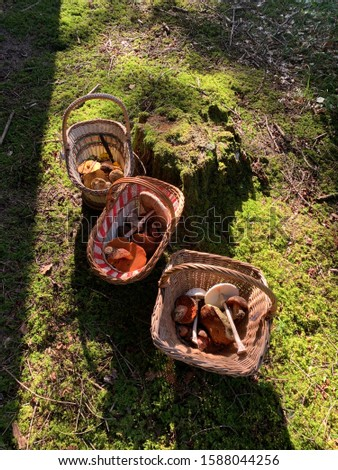 Picture of Mushroom in a basket. These mushrooms have been collected in the forest in autumn.