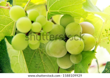 green grapes in the tree #1588109929