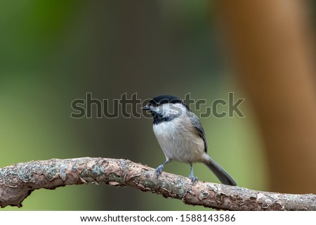 Frontal View of Carolina Chickadee Perched on Branch Against Blurry Green Background in Louisiana #1588143586