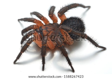 Close up picture of the segmented trapdoor spider Liphistius ornatus from Thailand on white background; these ancient spiders are living fossils.