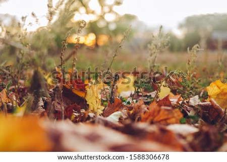 Autumn Tree and Sun during Sunset. Golden sunset in bokeh background. Golden autumn leaf illuminated by a low bright autumnal sun from behind, amongst other red and brown fall leaves on the ground #1588306678