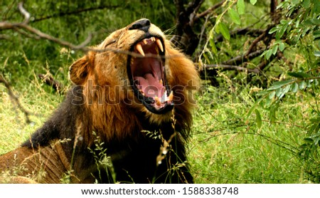 picture lion (panthera leo) animals wild life, lion lying with mouth open among green grass