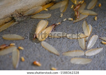 termites that come out to the surface after the rain fell. termite colonies mostly live below the surface of the land. these termites will turn into larons. macro photography. termites is white ants.