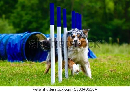 Australian shepherd agility dog sport #1588436584