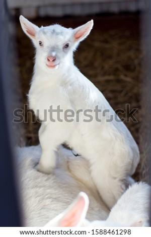 The little white goat. Domestic animals. #1588461298