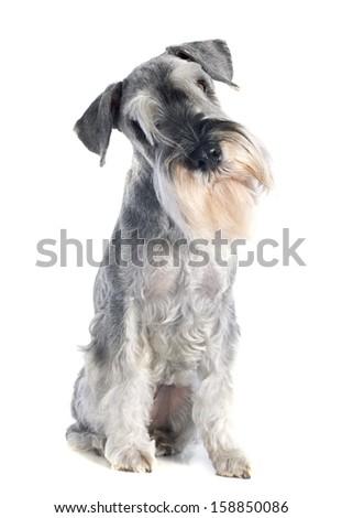 standard schnauzer in front of white background #158850086