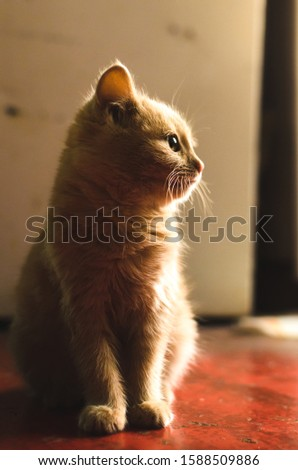 Little red kitten on the kitchen floor makes funny faces, photos for memes, bright warm silhouette