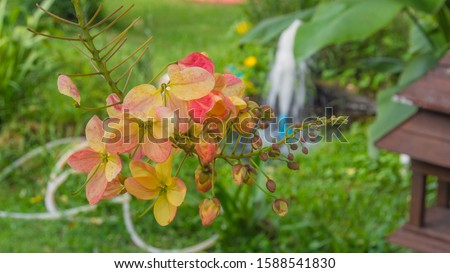 Rainbow shower tree or Cassia fistula ,Cassia bakeriana, Cassia fistula, Cassia javanica, the medium-sized tree is native to the Indian subcontinent and adjacent regions of Southeast Asia. #1588541830