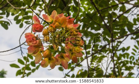 Rainbow shower tree or Cassia fistula ,Cassia bakeriana, Cassia fistula, Cassia javanica, the medium-sized tree is native to the Indian subcontinent and adjacent regions of Southeast Asia. #1588541833