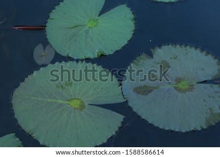 Beautiful pink lotus flower on the lake closeup #1588586614