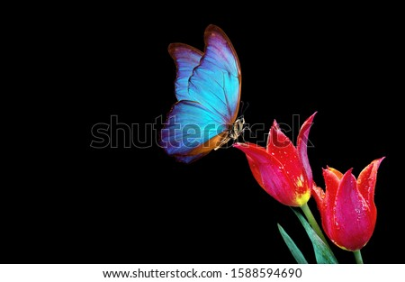 Beautiful blue morpho butterfly on a flowers on a black background.Tulip flowers in dew drops isolated on black. Tulip buds and butterfly. copy spaces.