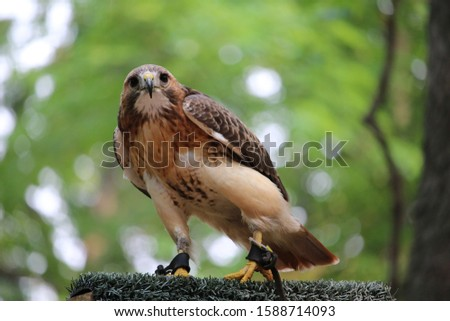 Close up picture of a hawk