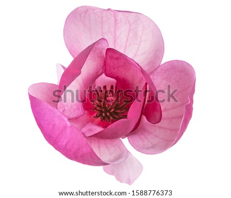 Purple magnolia flower, Magnolia felix isolated on white background, with clipping path