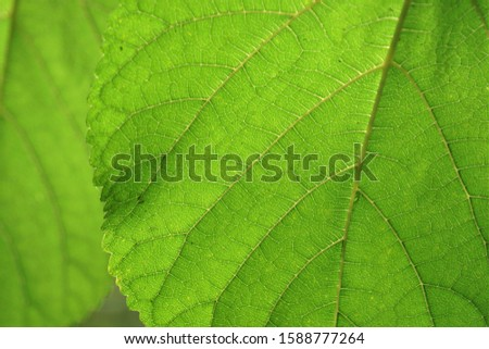 Close-up of a mulberry leaf that is exposed to light and clearly shows the pattern of the leaves. There is a blur of another leaf on the back.  #1588777264