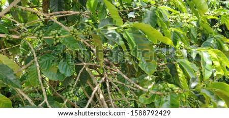 coffee farms in brazil valleys and mountains with plantations #1588792429
