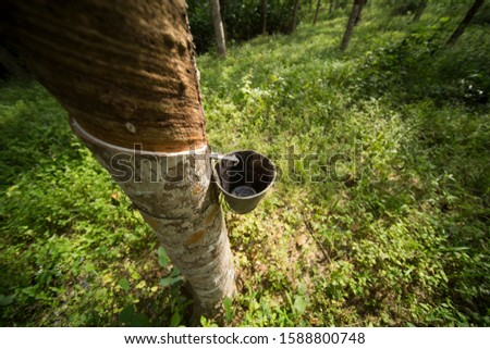 Tapping latex rubber tree, Rubber Latex extracted from rubber tree #1588800748