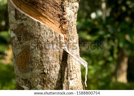 Tapping latex rubber tree, Rubber Latex extracted from rubber tree #1588800754