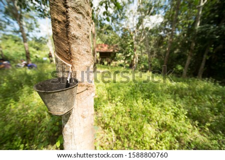 Tapping latex rubber tree, Rubber Latex extracted from rubber tree #1588800760