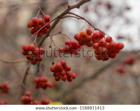 wet ripe bunches of ripe hawthorn fruits in autumn #1588811413