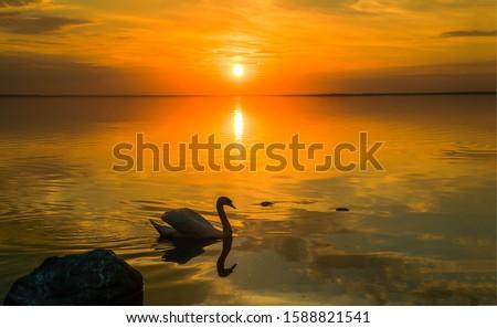 Sunset lake swan silhouette view. Sunset swan lake water. Sunset swan scene. Swan sunset lake water landscape #1588821541
