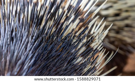 Close up of exotic animal known as hedgehog or  porcupine  #1588829071