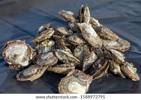 Heap of cultured oysters to search for pearls #1588972795