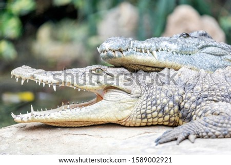 View of the Nile crocodile (Crocodylus niloticus). It is a large crocodilian native to freshwater habitats in Africa. They are opportunistic apex predators; a very aggressive species of crocodile. #1589002921