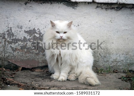 white fluffy cat looking at the camera. Portrait of a white fluffy cat #1589031172