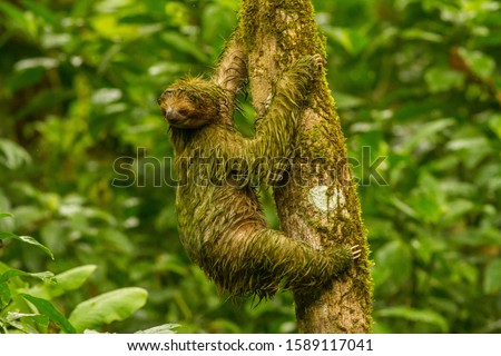 Brown-throated Sloth climbing a tree in Costa Rica