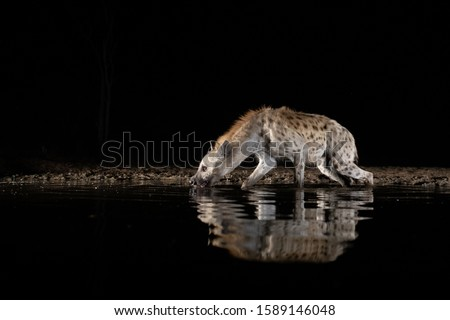 Spotted hyena drinking from a pool at night
