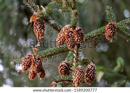 Hanging fir cones on a fir tree.  #1589200777
