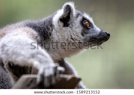 Lemur wacthing from a tree. Profile picture, beautiful Madagascar animal.