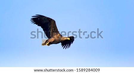 Adult White-tailed eagle in flight. Sky background. Scientific name: Haliaeetus albicilla, also known as the ern, erne, gray eagle, Eurasian sea eagle and white-tailed sea-eagle. The best photo.