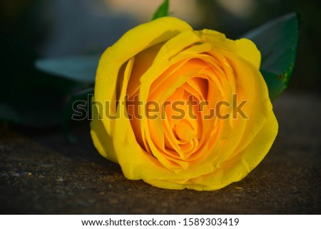 The Yellow Rose, known as the symbol of Friedship. The main object of this pic is Yellow Rose.
