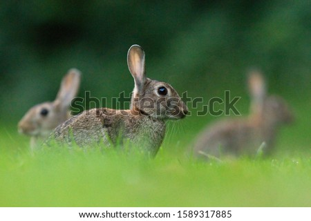 European rabbit-The European rabbit (Oryctolagus cuniculus) or coney[3] is a species of rabbit native to southwestern Europe (including Spain, Portugal and western France) and to northwest Africa (inc #1589317885