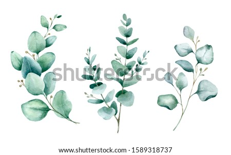 Watercolor hand painted botanical illustration. The branches and leaves of blue eucalyptus .Tropical elements isolated on white background for design in greenery 
