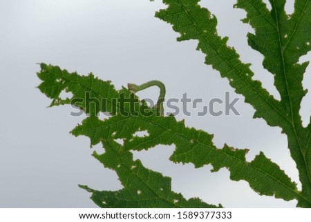Typical damages and traces of feeding by an inchworm (caterpillar of a geometrid moth) on a green leaf #1589377333