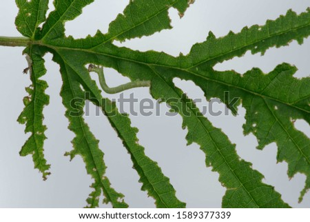 Typical damages and traces of feeding by an inchworm (caterpillar of a geometrid moth) on a green leaf #1589377339