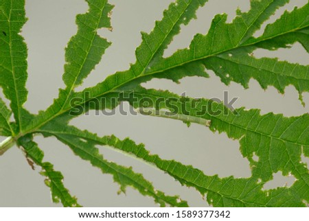 Typical damages and traces of feeding by an inchworm (caterpillar of a geometrid moth) on a green leaf #1589377342