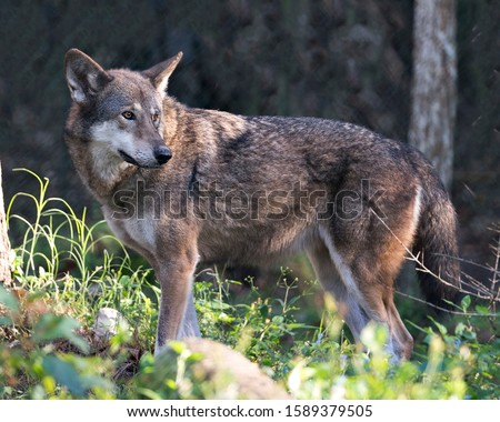 Wolf Red Wolf walking in the field with a close up profile viewing of its body, head, ears, eyes, nose, paws with foliage foreground and bokeh background in its environment and surrounding.