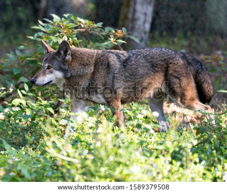 Wolf Red Wolf walking in the field with a close up profile viewing of its body, head, ears, eyes, nose, paws with foliage foreground and background in its environment and surrounding.
